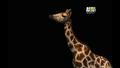 UTAUC Giraffe