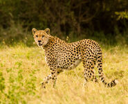 20050604-174410- V7W2855 Serengeti Alamana area cheetah
