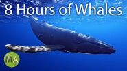 8 Hours Of Whales