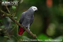 African-grey-parrot-perched.jpg