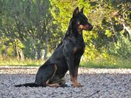 Beauceron-Dogs