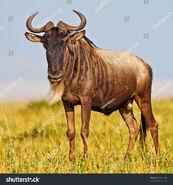 Blue Wildebeest (V2)