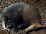 Chester Zoo Aardvark