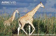Giraffe, West African