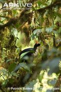 Horned-guan-perched-in-tree