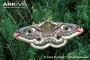 Moth, emperor.jpg