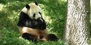 Smithsonian Zoo Panda