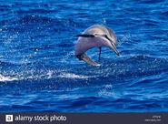 Spinner dolphin calf