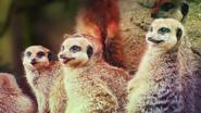 The Zoo Meerkats
