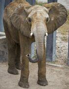 African Elephant Tamani