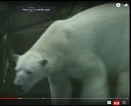 Animal Atlas Polar Bear