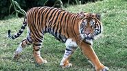 Bengal Tiger (V2)
