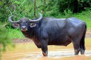 Buffalo, Wild Water