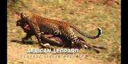 EOL African Leopard