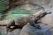 Komodo Dragon (Female)