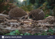 Male and Female European Hedgehogs