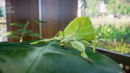 Planet Zoo Leaf Insect