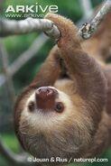 Sloth, Linnaeus's Two-Toed