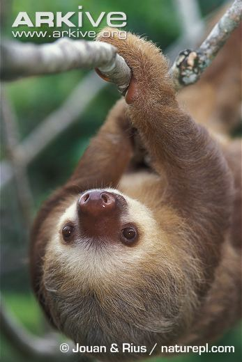 Linnaeus's Two-Toed Sloth