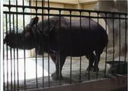 Smithsonian Zoo Rhino