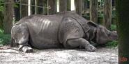 Tampa Lowry Park Zoo Indian Rhinoceros