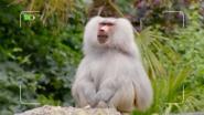 The Zoo Baboon