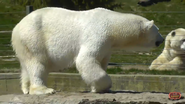 Toronto Zoo Polar Bear V2