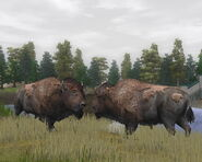 WP2 American Bison