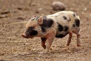 American Yorkshire piglet
