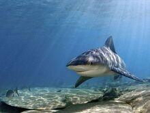 Bull-shark 769 600x450.jpg
