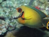 Chocolate Surgeonfish