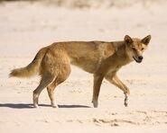 Dingo (Dog)