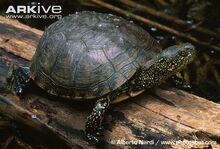 European-pond-turtle-on-log.jpg