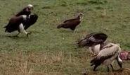 HugoSafari - Vulture01