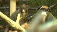 Minnesota Zoo Mona Monkeys