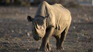 South-Western Black Rhinoceros