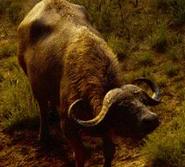 TLK 2019 Cape Buffalo