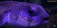 Toledo Zoo Pufferfish