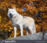 Wolf, Arctic (V2)
