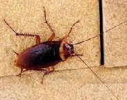 American Cockroach1