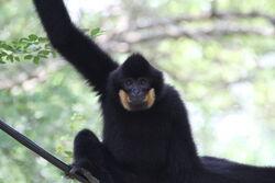 Black-crested gibbon.jpg