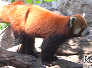 Cleveland Metroparks Zoo Red Panda