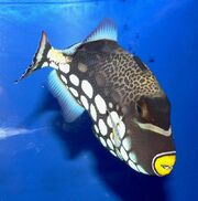 Clown Triggerfish.jpg
