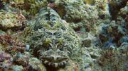 De Beaufort's Crocodilefish.jpg