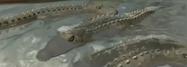 Gon Crocodile