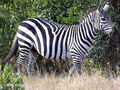 Grants-zebra,-plains-zebra-77x zeb1