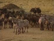 HugoSafari - Zebra&Wildebeest02