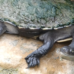 Indianapolis Zoo Snake-necked Turtle.png