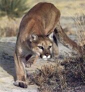 Tom Cougar