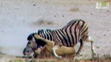 UTAUC Lion vs. Zebra